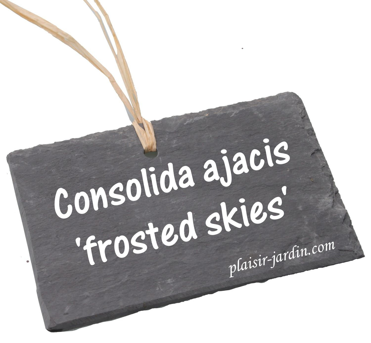 Le Consolida ajacis 'frosted skies'