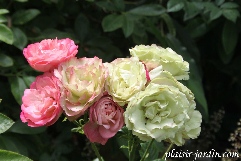 Le rosier 'Acropolis'