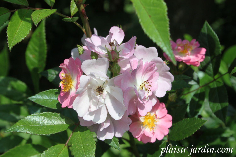 B9 les rosiers en b de be bi plaisir for Rosier jardin de france