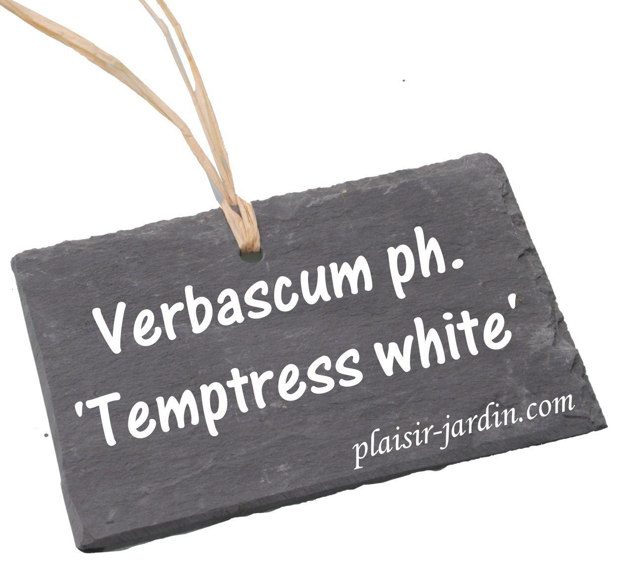 Le Verbascum phoenicum 'temptress  white'