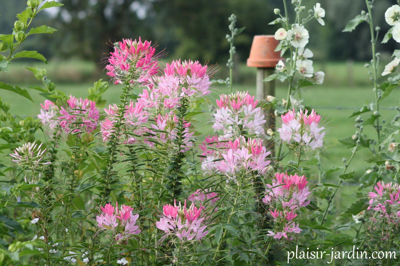 La Cleome spinosa 'Sparkler Blush'
