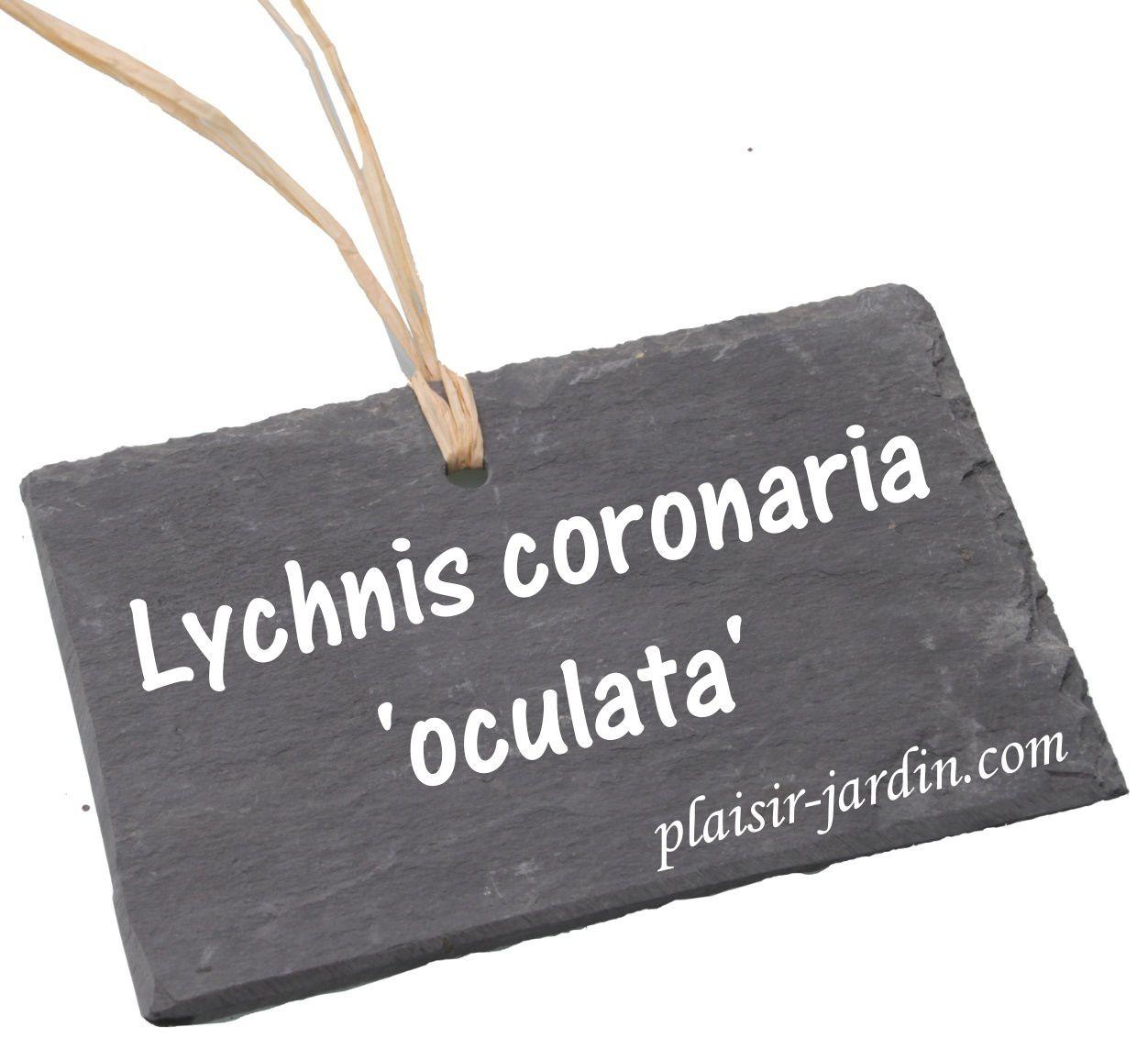 Le Lychnis coronaria oculata