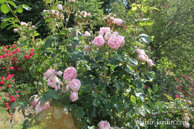 B9 les rosiers en ci cl plaisir for Rosier jardin de france