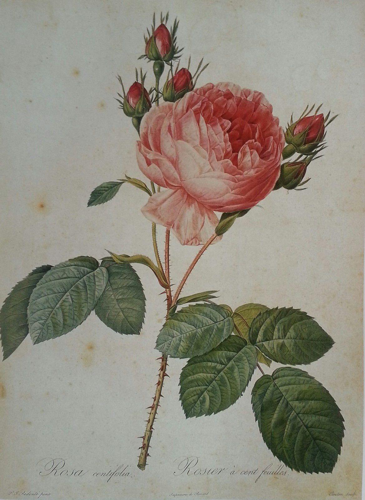 La rosa x centifolia