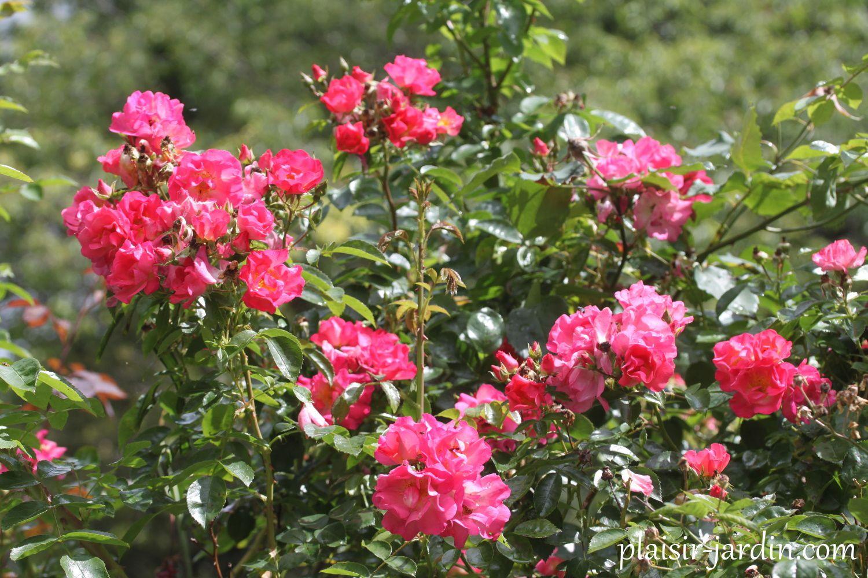 Le rosier Chabada-Bada