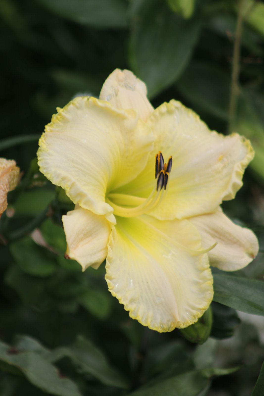 L'Hemerocalle 'Jardins de Castillon'