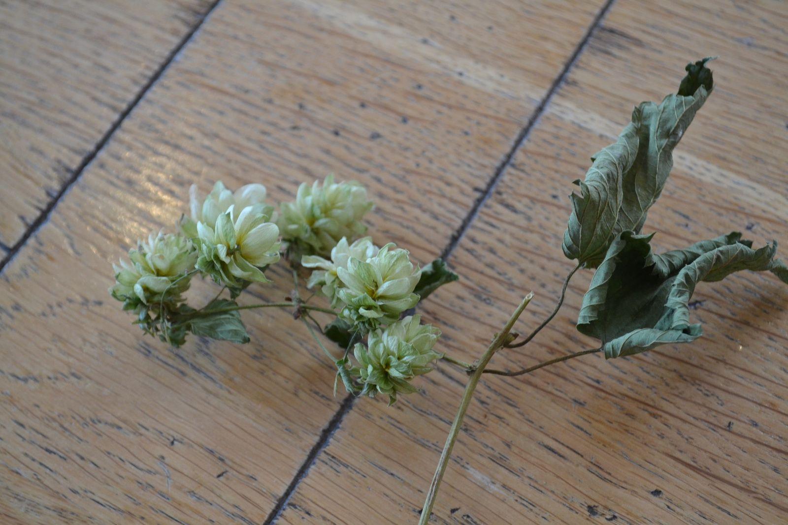Les fleurs de houblons sont déshydratées, elles se conservent plus facilement !
