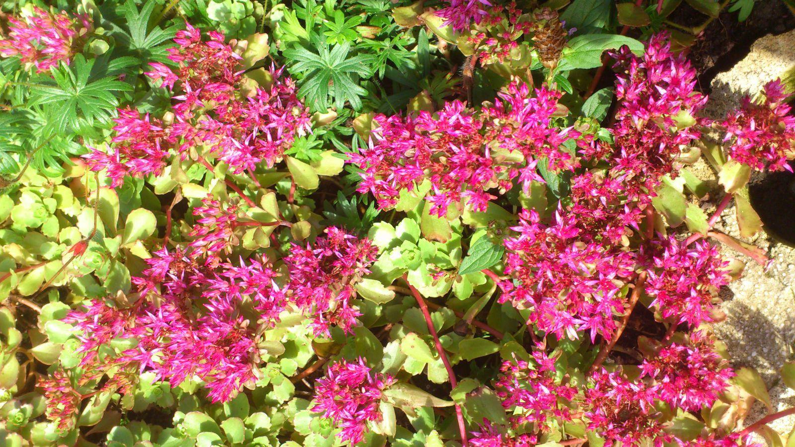 Les groseilles sont prêtes à être récoltées (cette variété est rose et non rouge), le tilleul lui a déjà bien séché.
