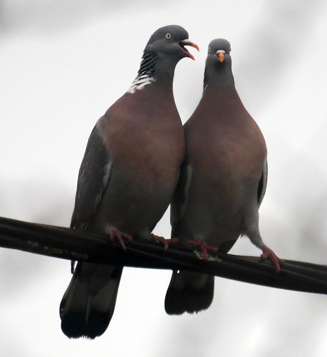 coeurs de pigeons