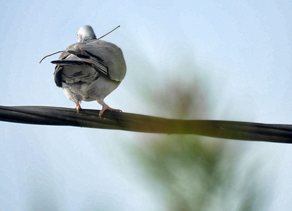 pigeon : nid en construction
