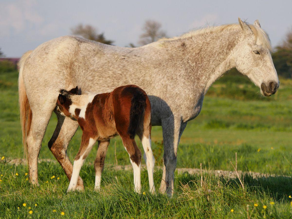 Une mère et son poulain