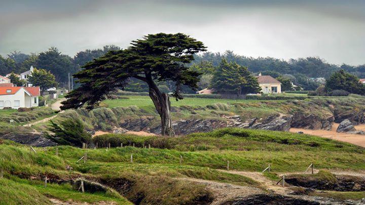 Le vieil arbre de Portmain