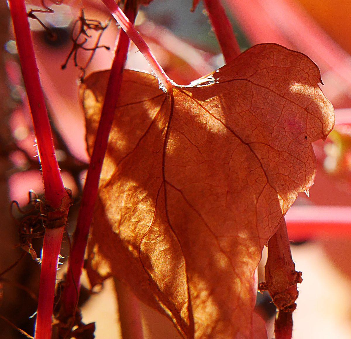 fruits de la vigne vierge