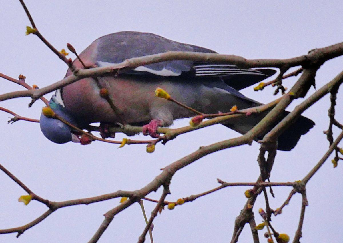 Pigeons et bourgeons