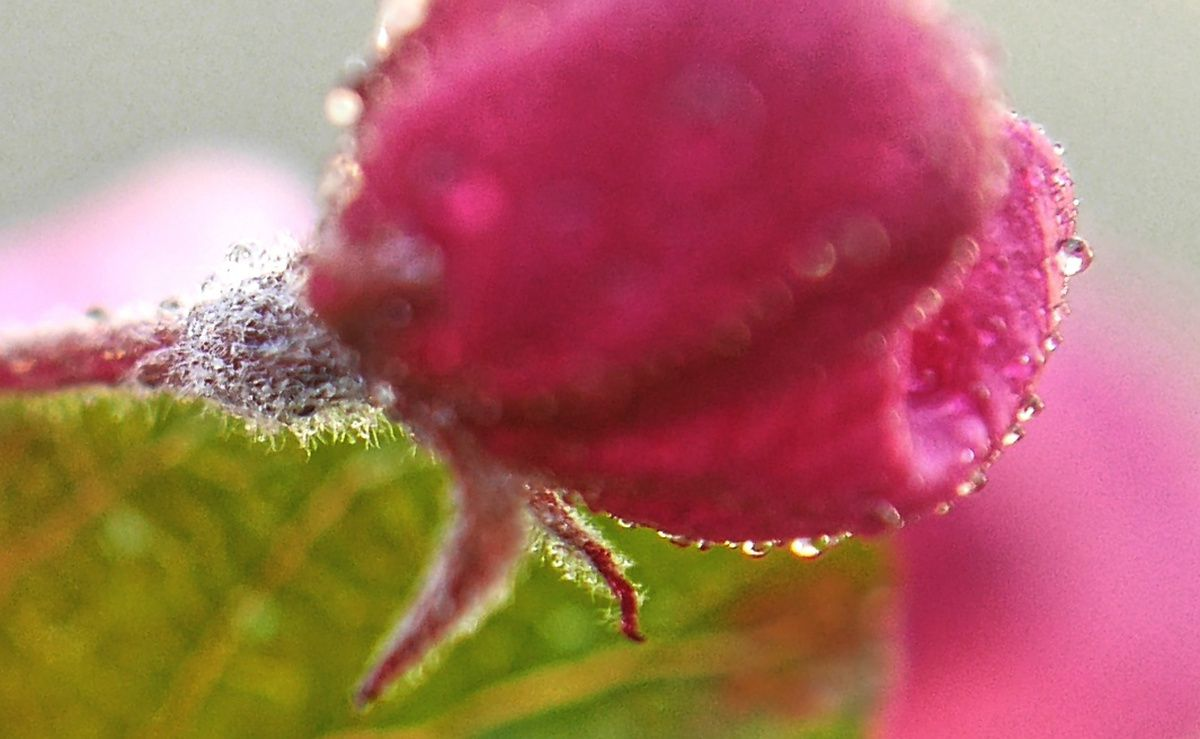 Pommier d'ornement en fleurs