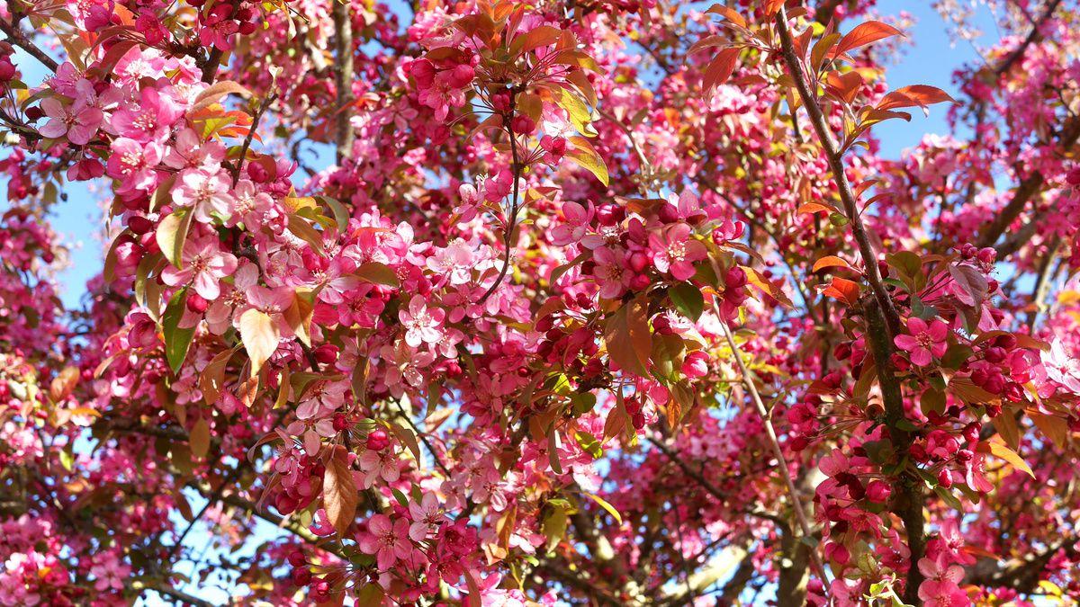 fleurs de pommier d'ornement en macro
