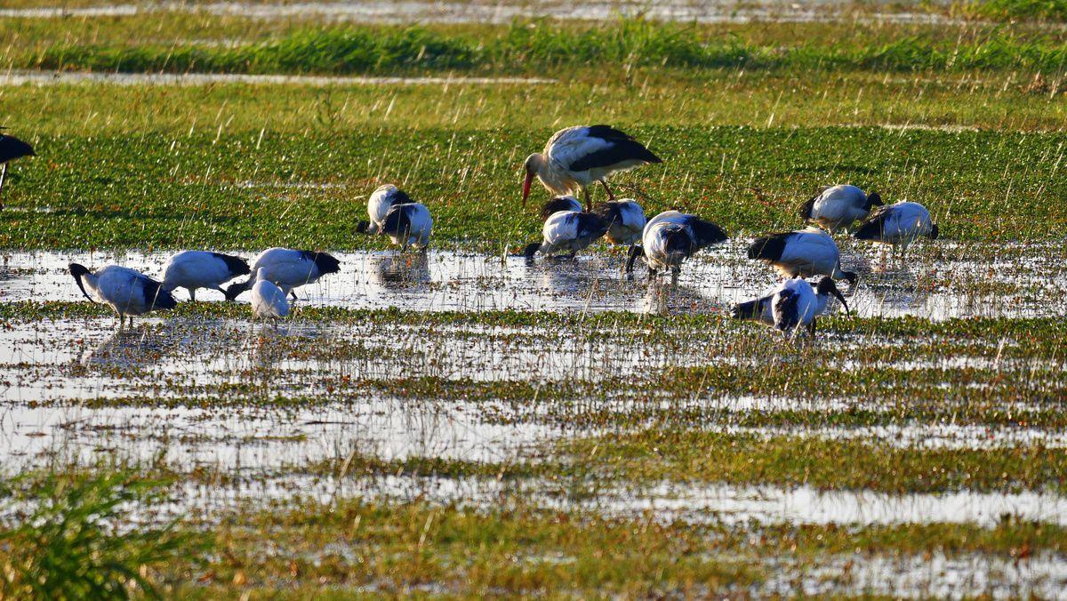 l'ibis sacré