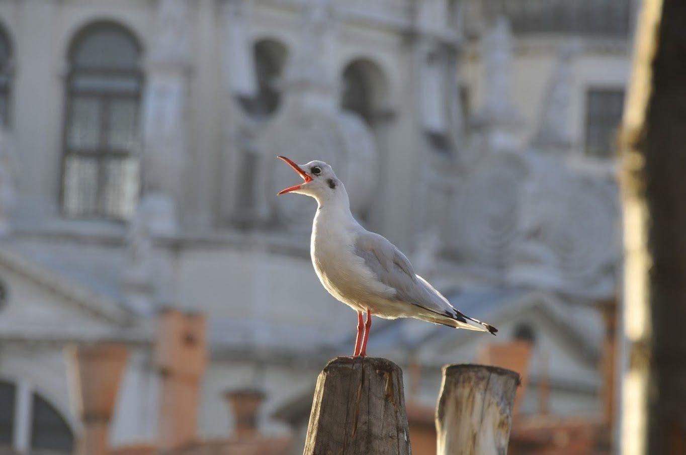 à Venise les playmouettes chantent le bel canto !