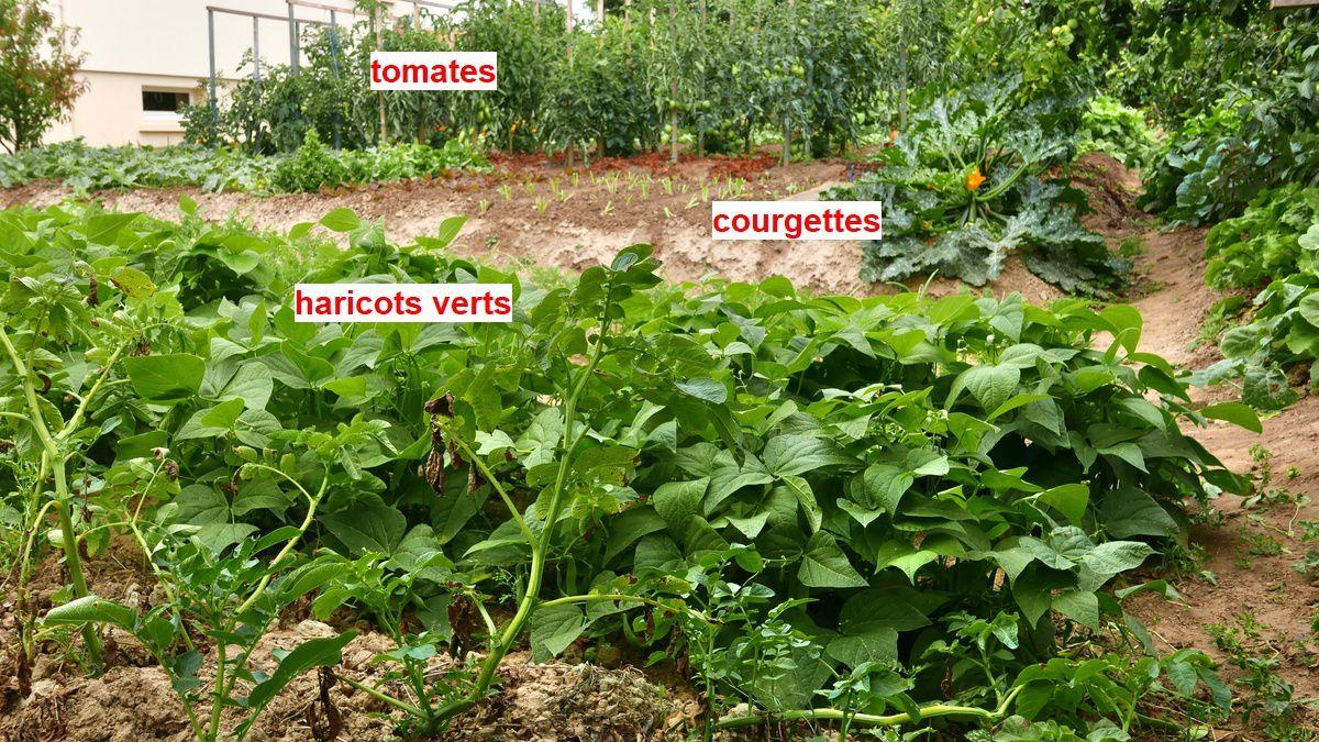 à droite : semis de navets, poireaux et betteraves, à gauche : haricots verts