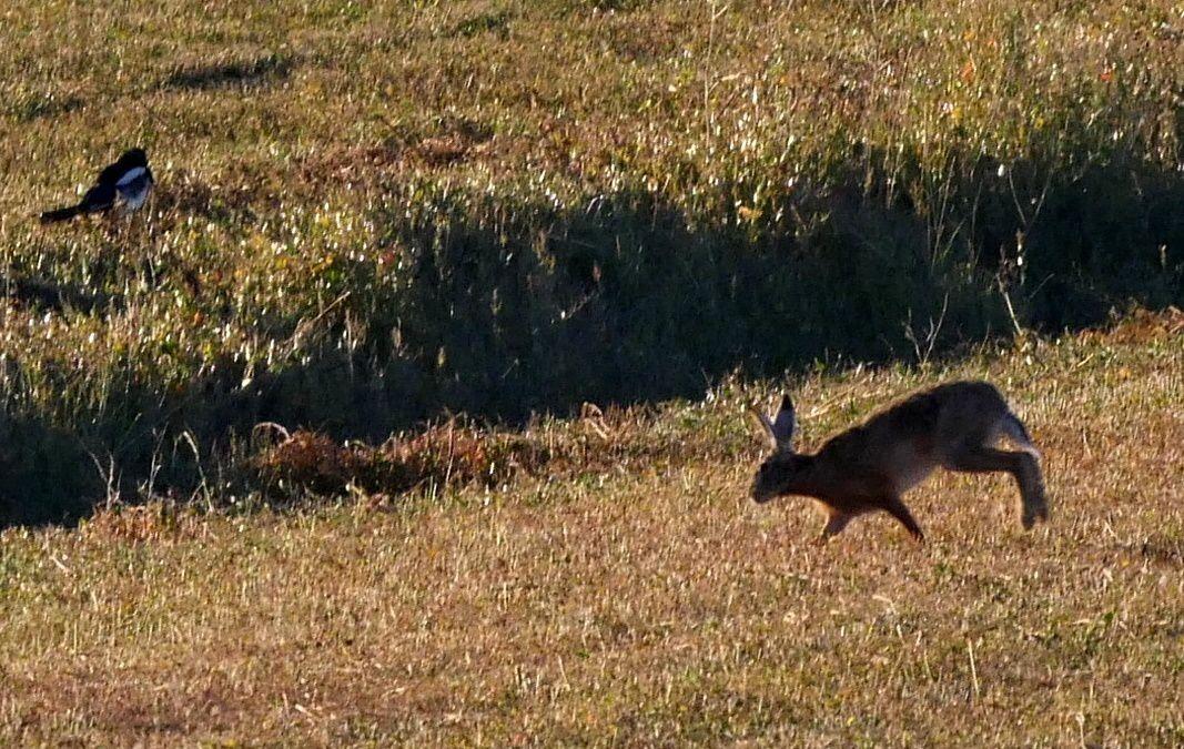 Quelques petites scènes entre lièvre, héron, hibou des marais et corbeaux...