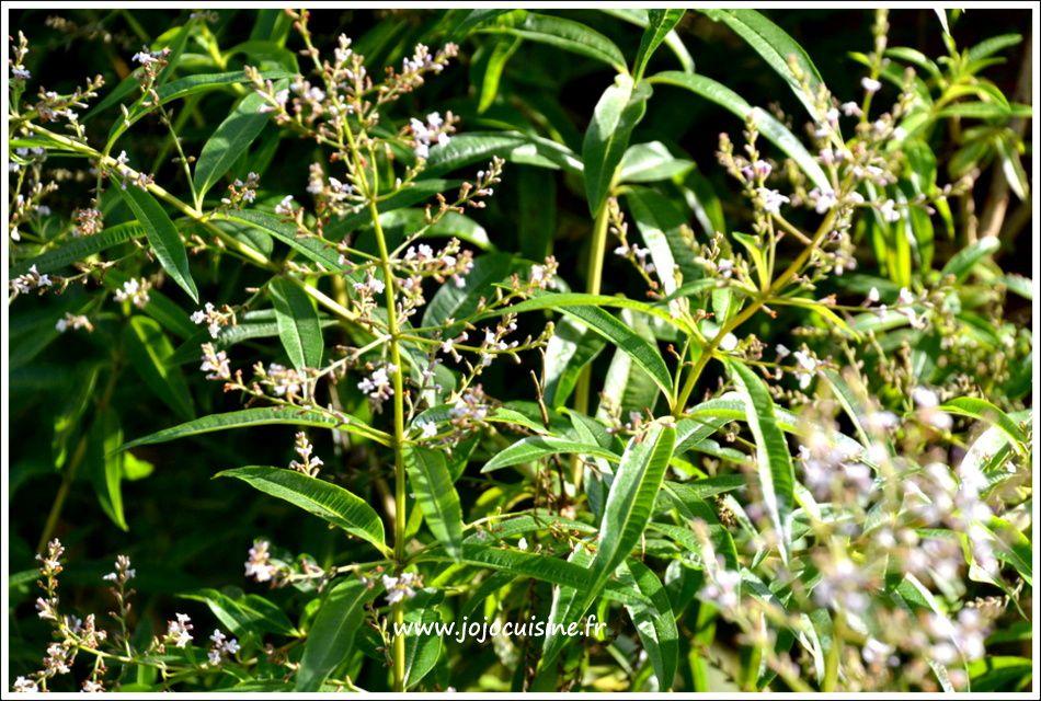 Faisselle crémeuse à la Verveine et Figues au sirop d'agave