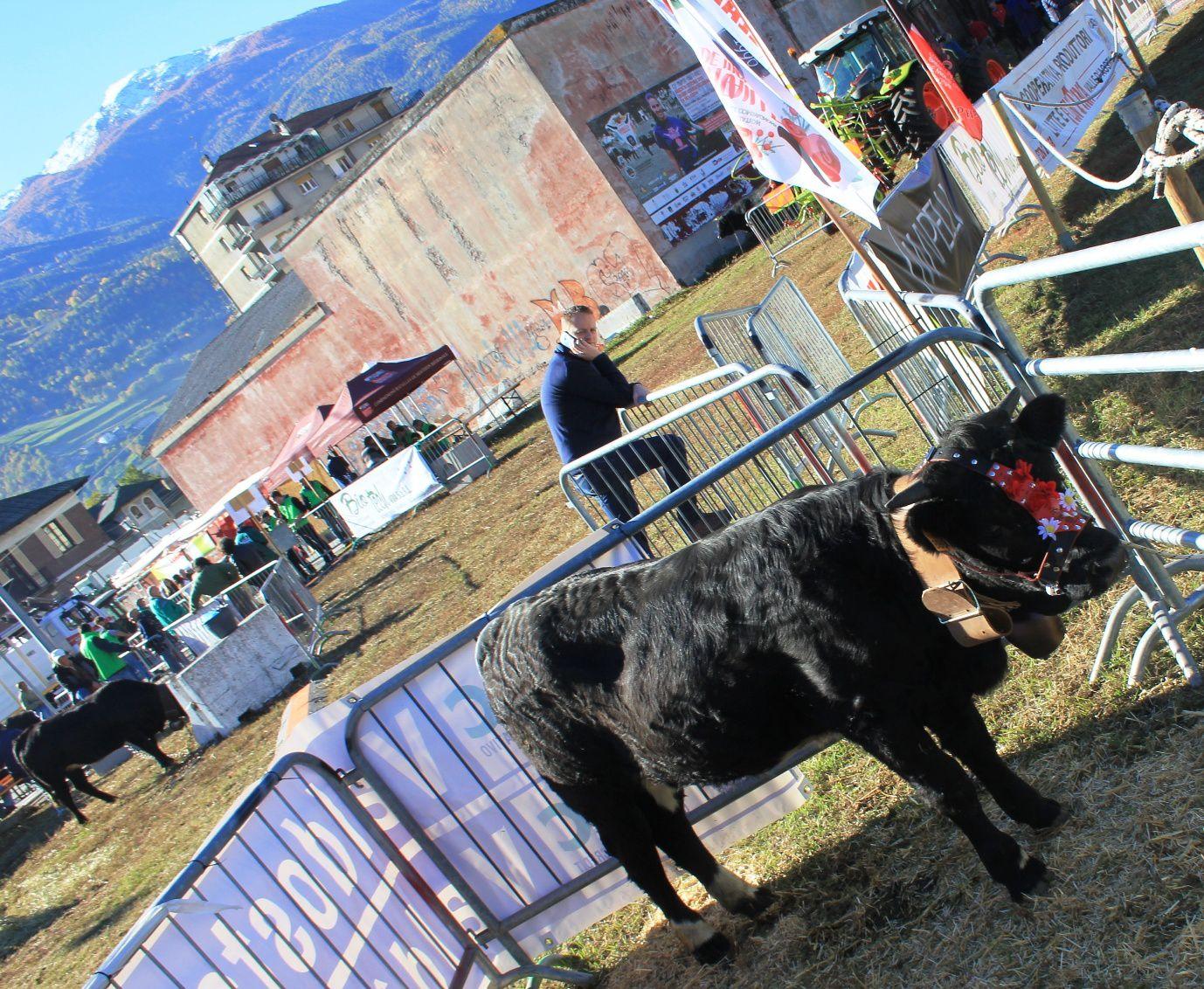 Il vitello proveniente dalla scuderia di Michel Charbonnier di Arpuilles ( Sociéta Lo Tzanti) messo in palio come premio a sorteggio. Lo hanno vinto gli allevatori della famiglia Jordaney di Courmayeur .