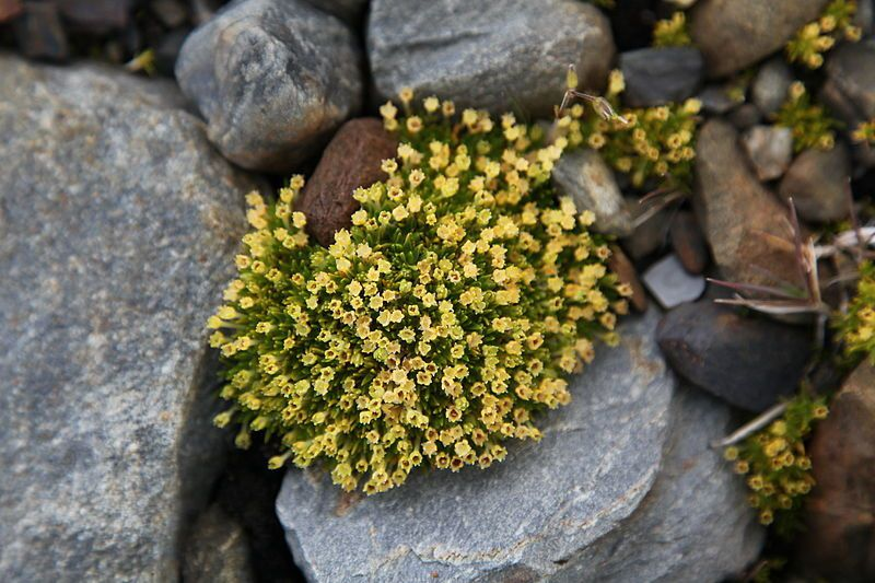 La Sagine antarctique – Colobanthus quitensis, Antarctic pearlwort - photo Liam Quinn