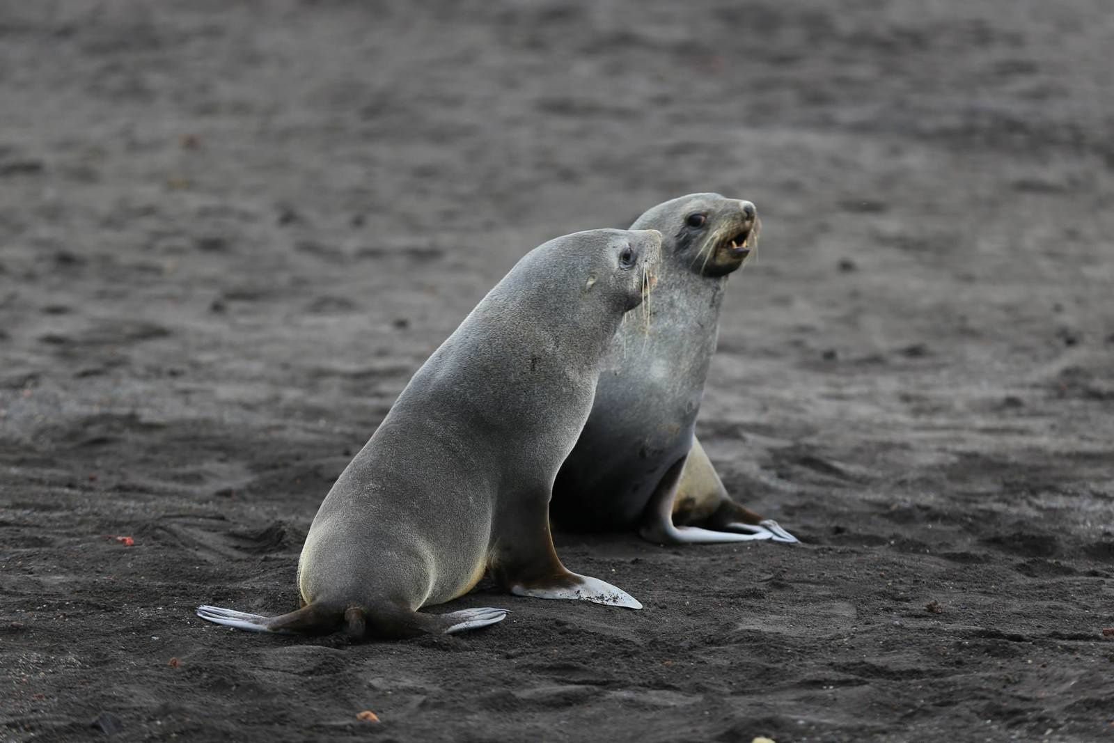 Deception Island - South American sea lion - Otaria flavescens - photo Antony Van Eeten 03.2014
