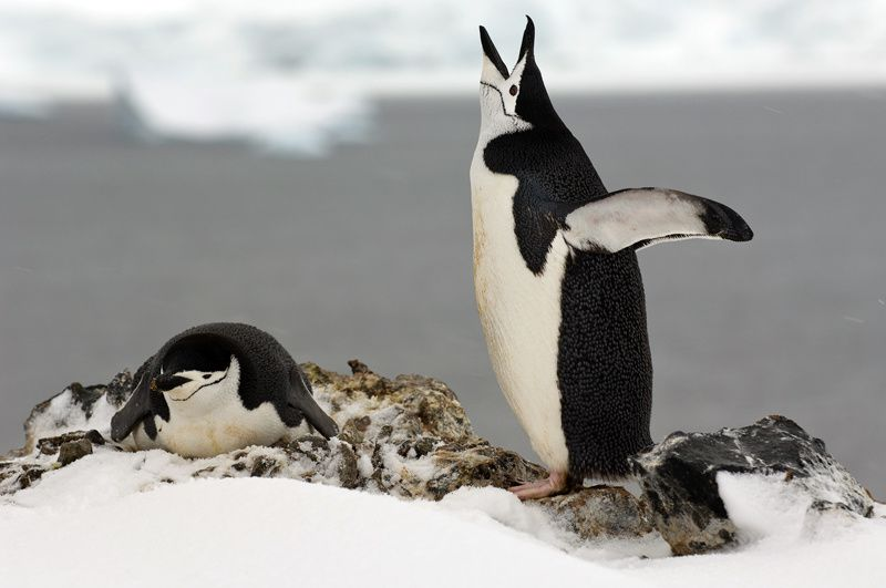 Deception Island - Chinstrap penguins nesting - photo travelwild