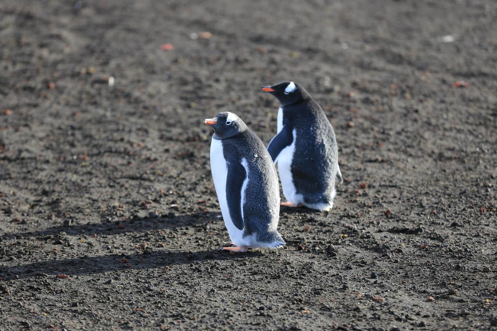 Deception Island - Gentoo penguins - photo Antony Van Eeten 03.2014