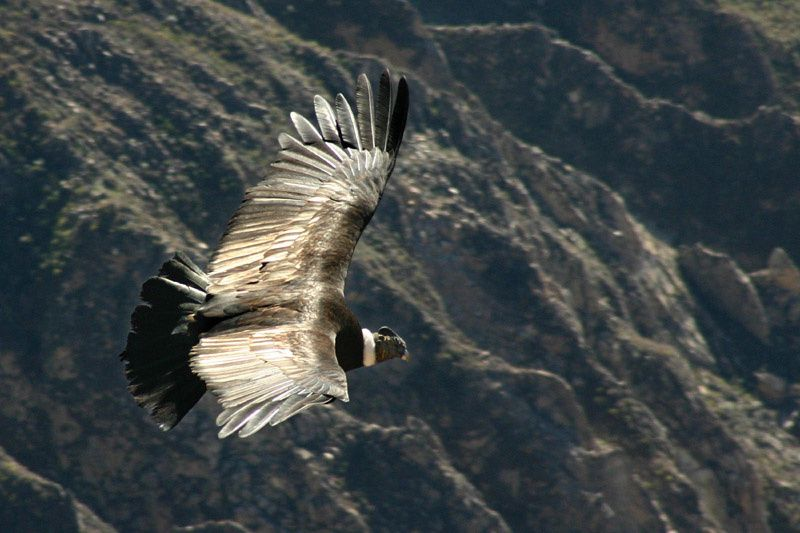 Obsidian under the wings of the Condor - Colca Canyon / Peru - photo Adehm.de