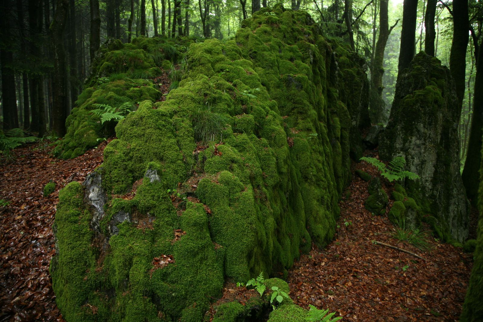 "Vogelsberg / Grebenhain: mosses cover the blocks of basanite of the ""Bonifatiuskanzel"" - photo Bernard Duyck 05.2014"