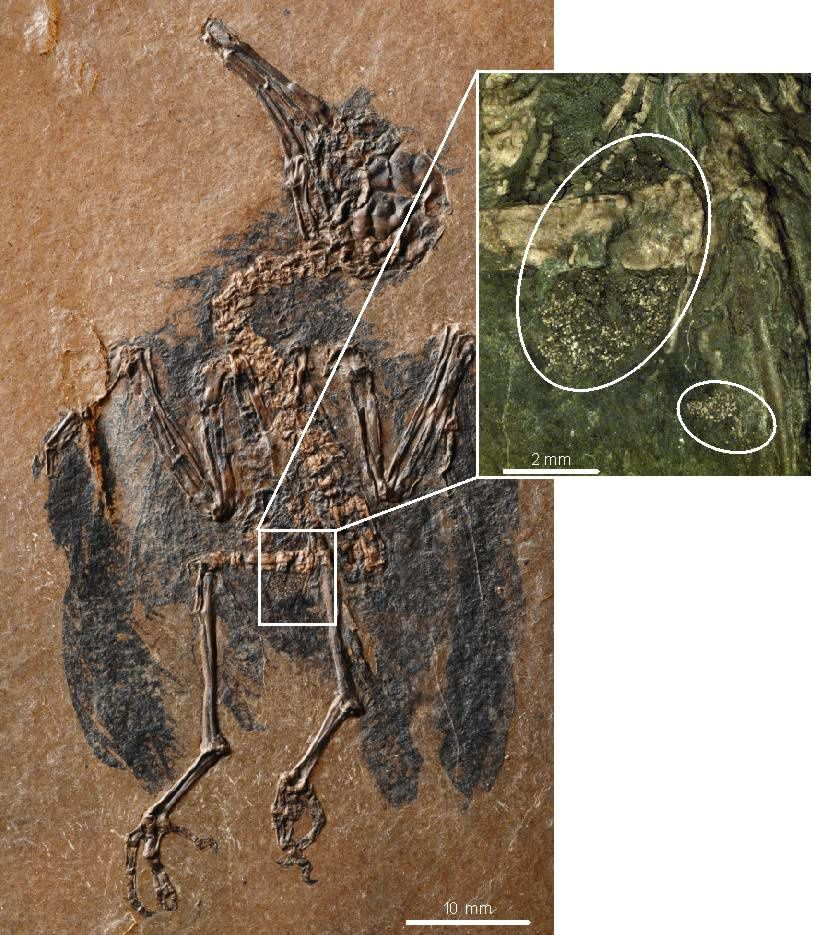 Messel pit - fossil of a pollinator hummingbird, and its stomach contents - scale 10 mm - doc. Schenkerberg Institute