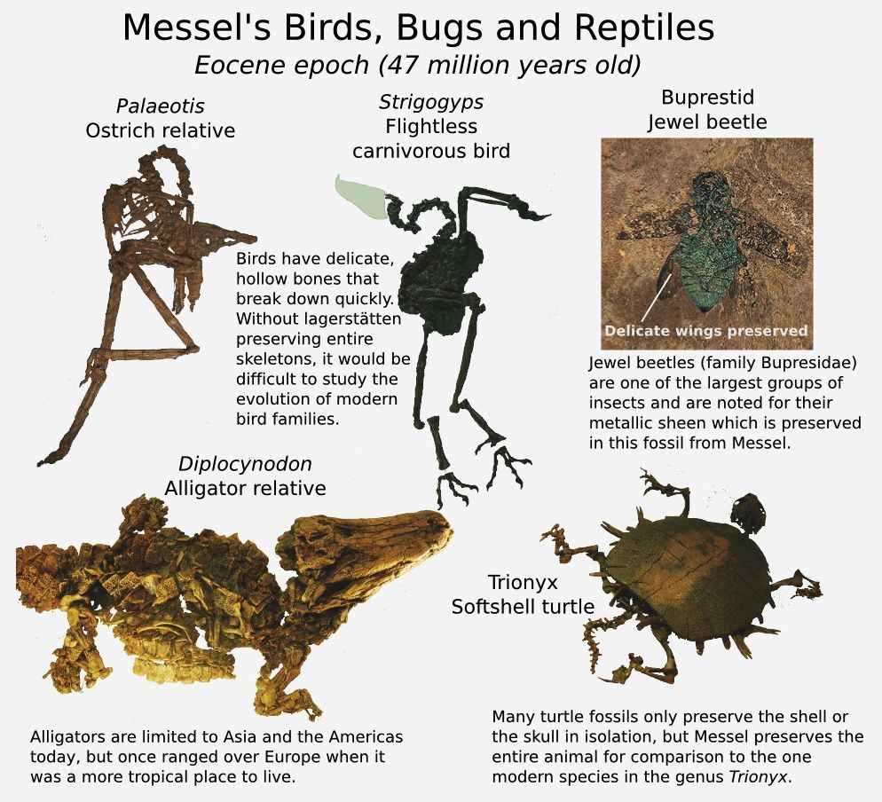 Messel pit - fossils of birds, insects and reptiles from the Eocene - doc. pasttime.org