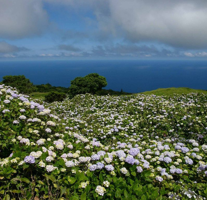 Les hortensias de Faial - photo naturalland treakearth