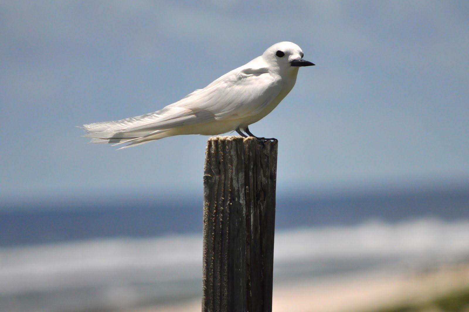 White tern / Jarvis island