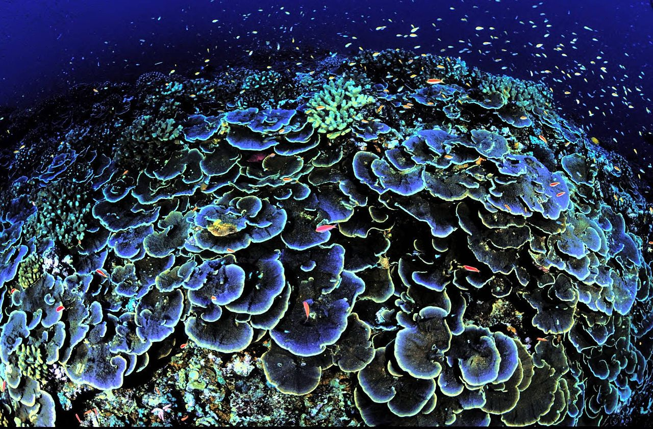 Jarvis island - above: Coral / Jarvis Island National Wildlife Refuge - Photo credit USFWS, Jim Maragos - - below: Porites colony, massive and fingered corals, biobuilders, involved in the construction of reefs. (in the insert, rings of growtj) - doc.http: //www.lgt.lt