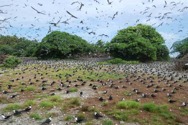 Palmyra - colonies of sooty terns - Doc. United States Fish & Wildlife Service