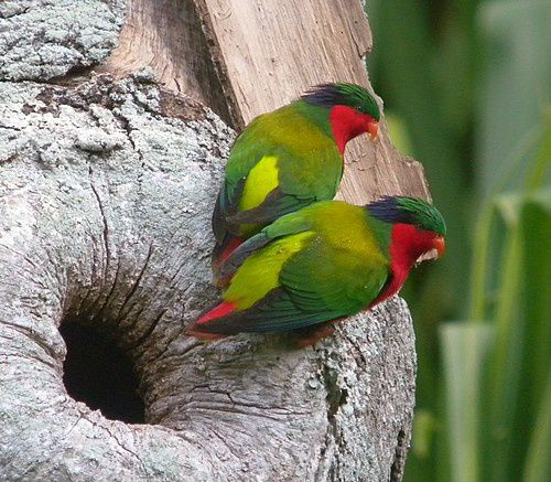 Kuhl's Lorikeet - photo Mark Van Beirs / Birdquest