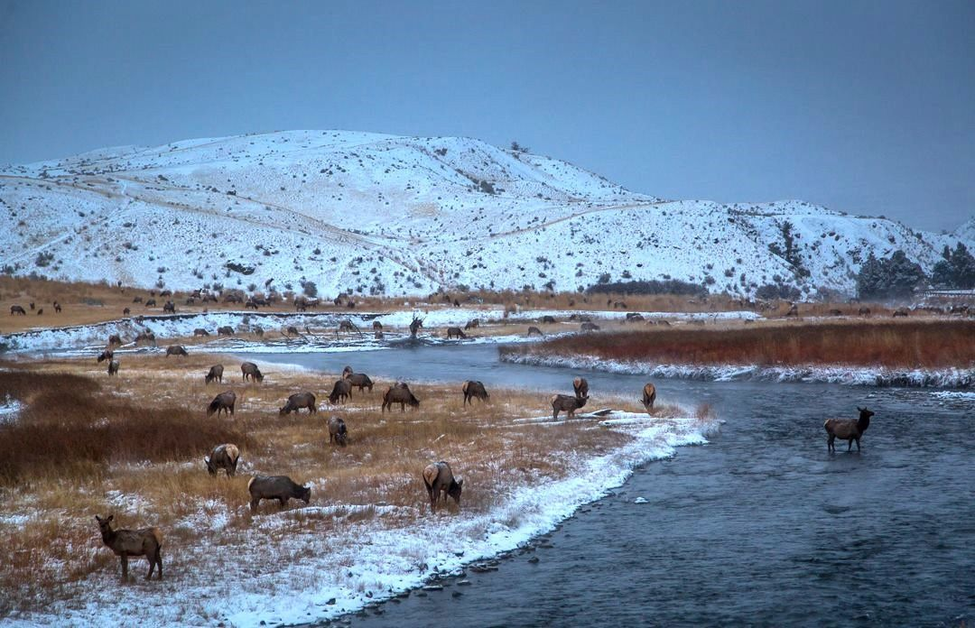 Along the Gardner river, elk looking  grass - photo Yellowstone National Park in 2014