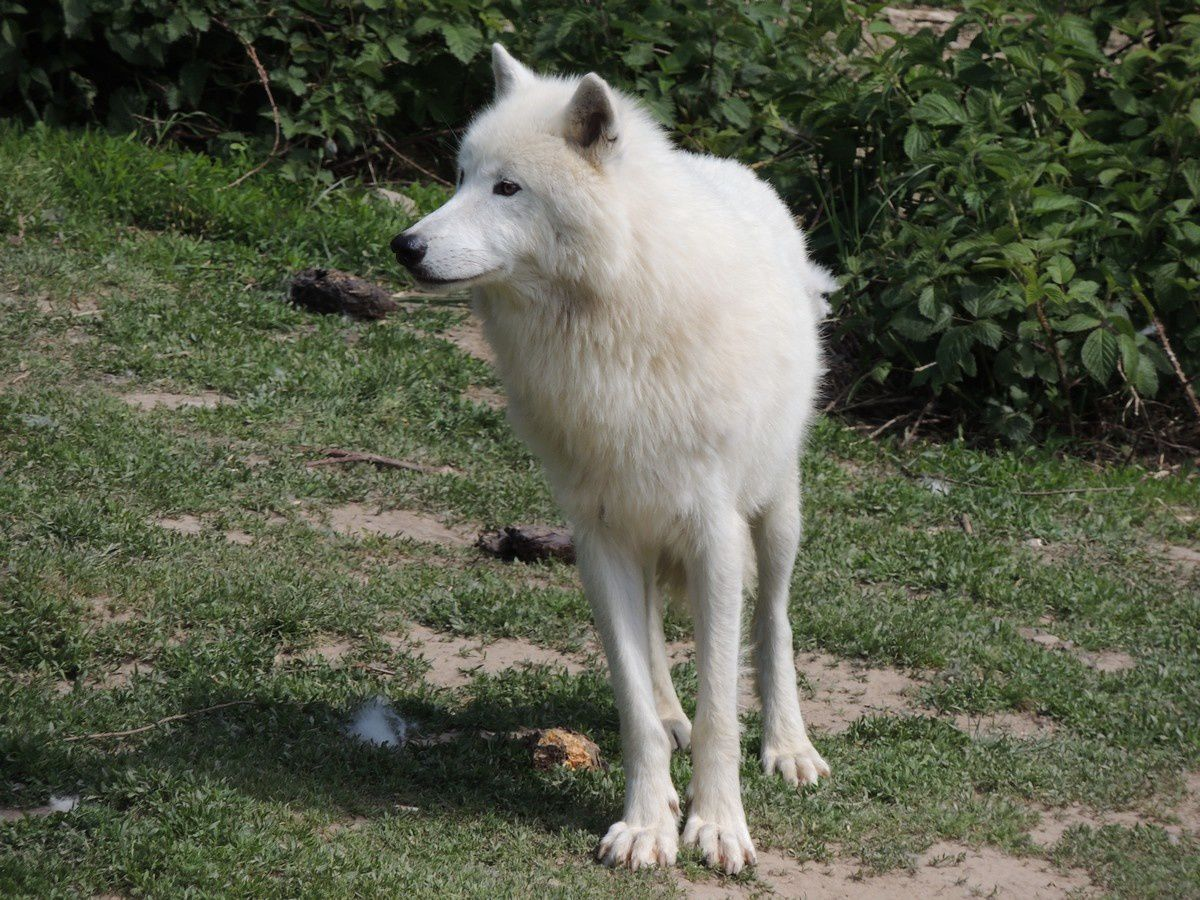 """Gevaudan wolf ... not the """"beast"""", but a magnfique Wolf seen in the """"Gevaudan's Wildlife park of Wolves"""" - photo Altitude Rando"""