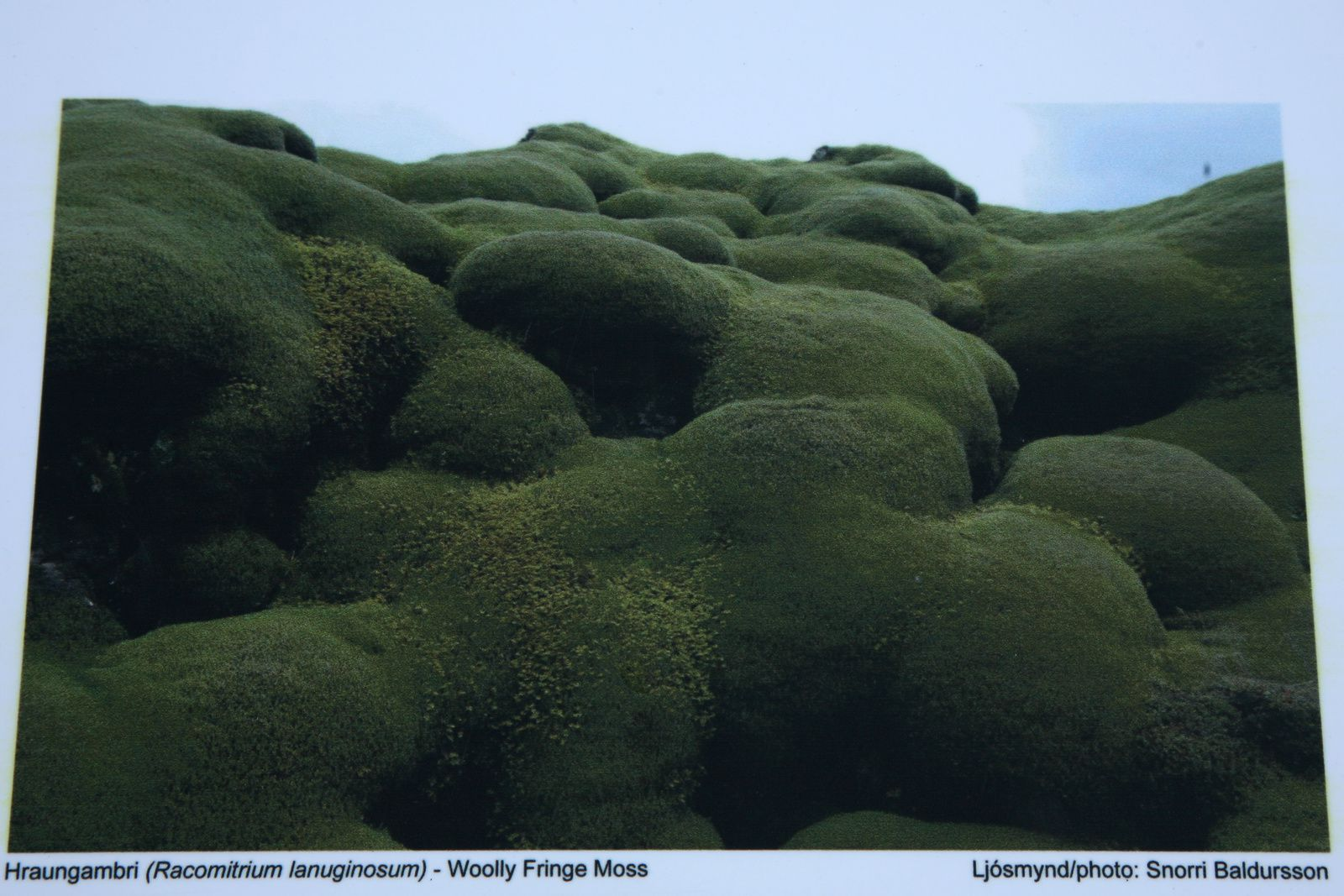 The Racomitrium lanuginosum,  foam on the lava field of Eldgjá - photo Snari Baldersson