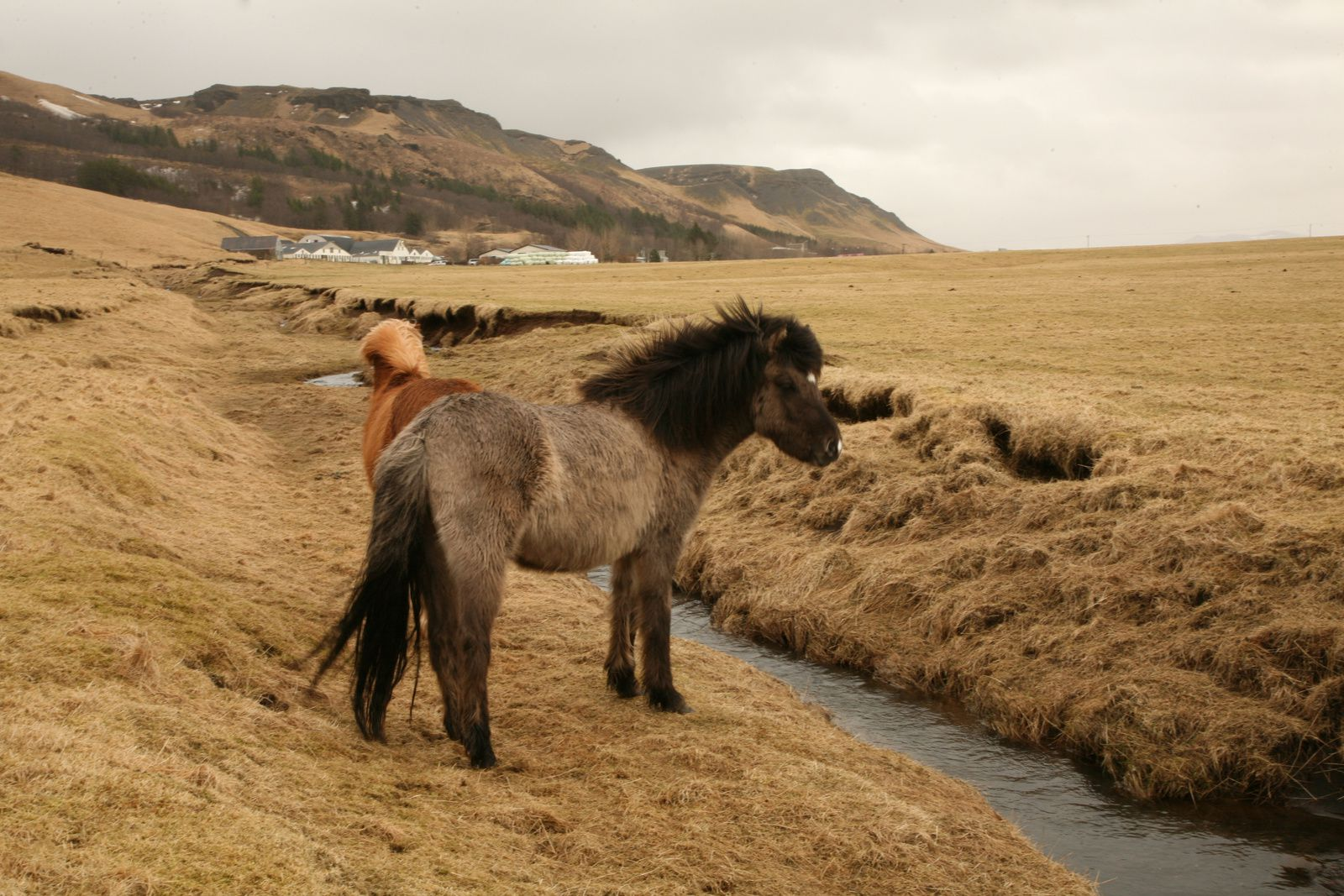 The Icelandic horse is content with a grass  yellowed  by the long snow cover - photo © 2015 Bernard Duyck