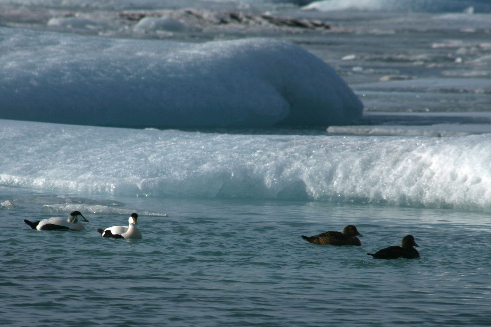 Jökulsárlón - Couples of eider (Somateria mollissima) in formation - photo © 2015 Bernard Duyck