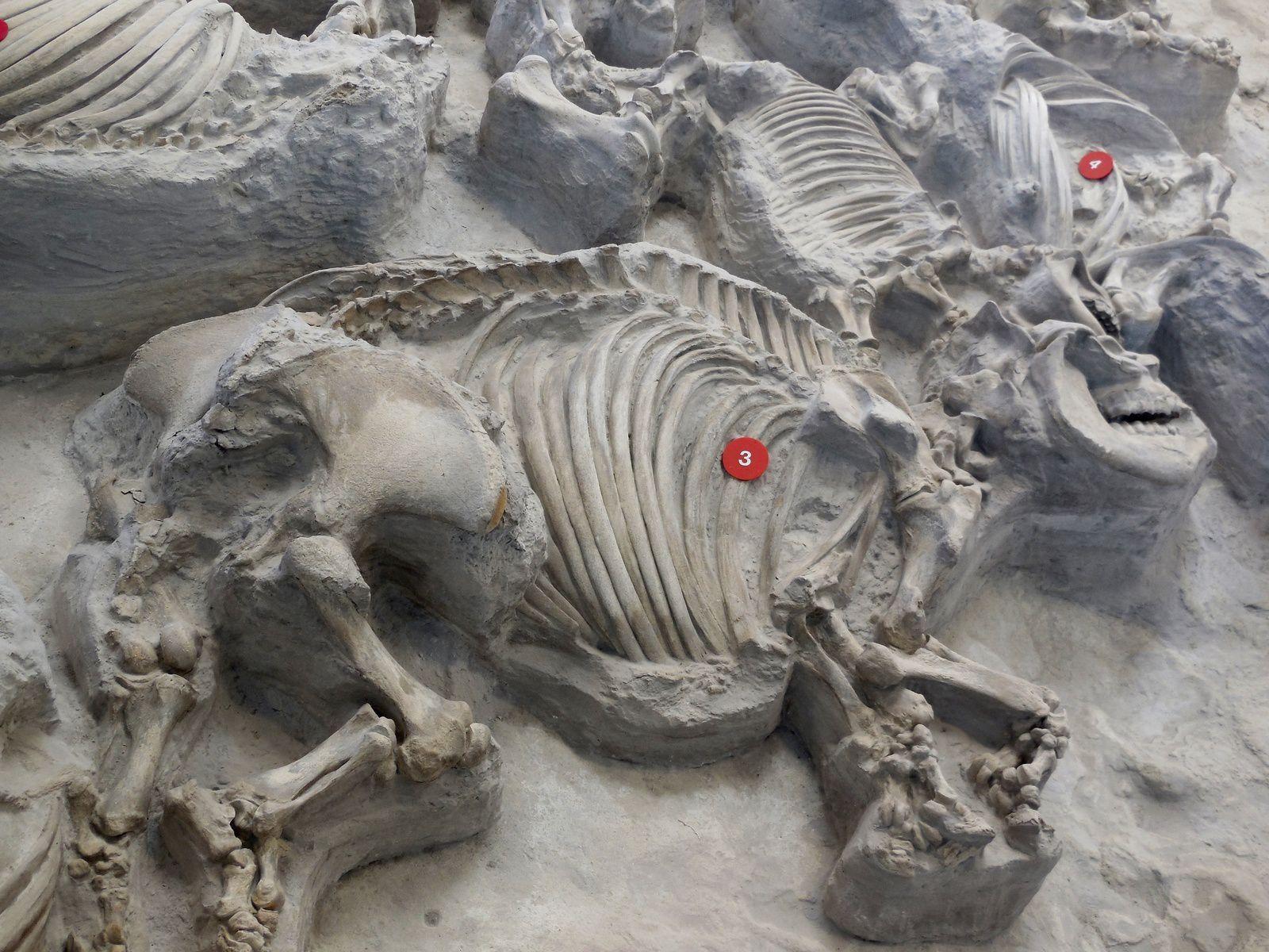 Ashfall Fossil Beds  - un rhinocéros (Teleoceras major) et son petit retrouvés l'un près de l'autre - doc. Postcard Jar