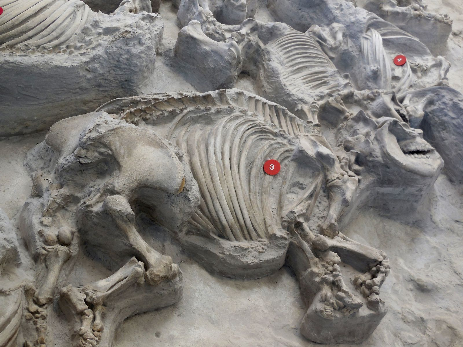 Ashfall Fossil Beds - a rhinoceros (teleoceras major) and her baby found near each other - Doc. Postcard Jar