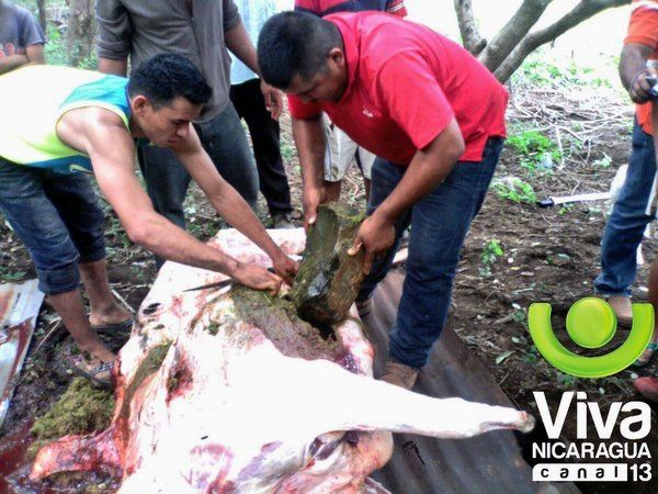 To Agua Fria , cows were killed by stones - photo Viva Nicaragua / Twitter