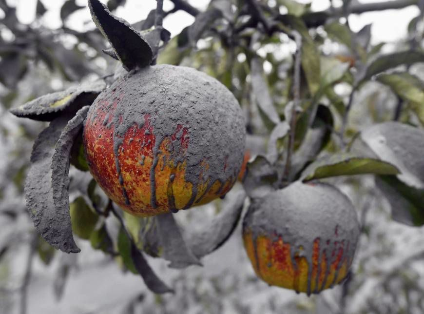 The wet and sticky ash from Aso on apples of an orchard in the prefecture of Kumamoto - photo Kyodo