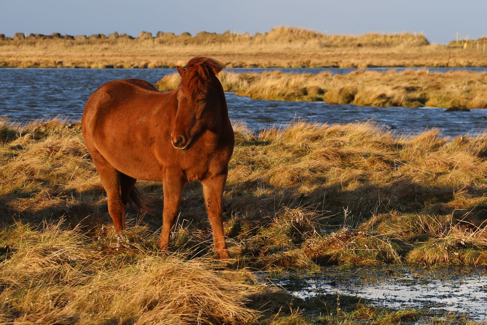 Icelandic small horses resist in all weather and in all environments - photo © Bernard Duyck 10.2016