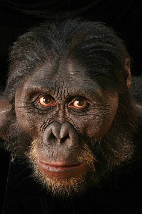Australopithecus afarensis - reconstruction of A. afarensis by John Gurche. (Photo Chip Clark)